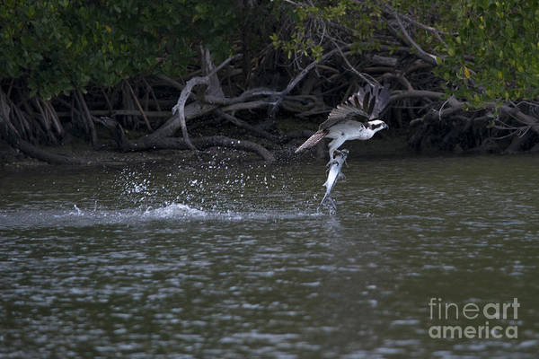 Photograph - Osprey Struggling With Caught Fish by Dan Friend