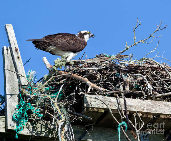 Photograph - Osprey Stuff by Michelle Constantine
