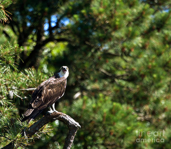 Photograph - Osprey Talk by Michelle Constantine