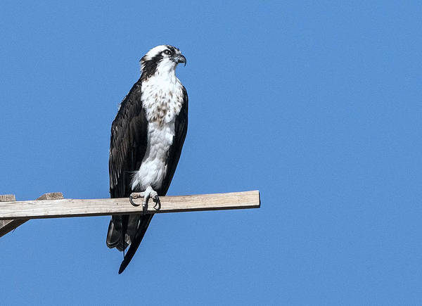 Photograph - Osprey by Tam Ryan