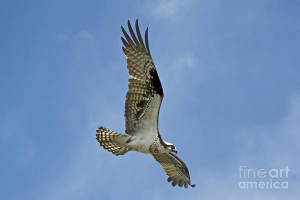 Photograph - Osprey Time Of Year by Andrea Kollo