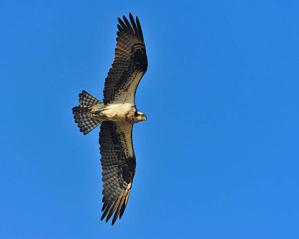 Photograph - Osprey by Tony Beck