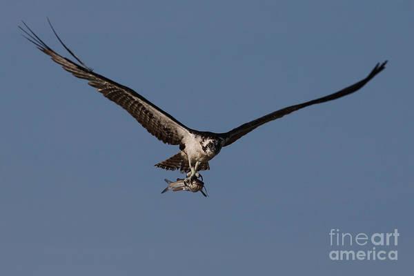 Photograph - Osprey With Catfish by Meg Rousher