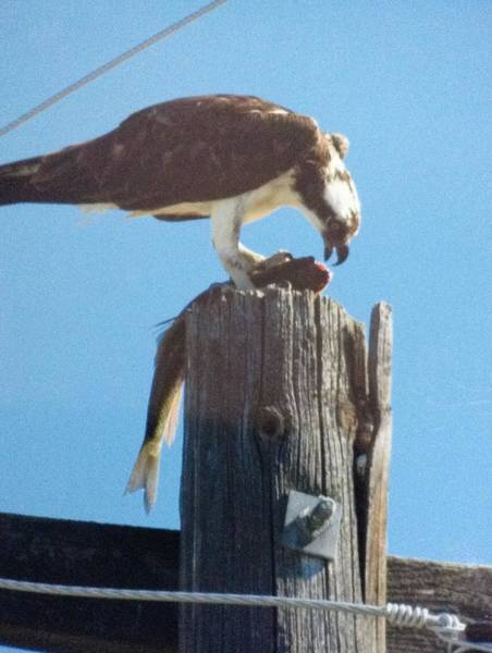 Painting - Osprey With Fish  by Sharon Duguay