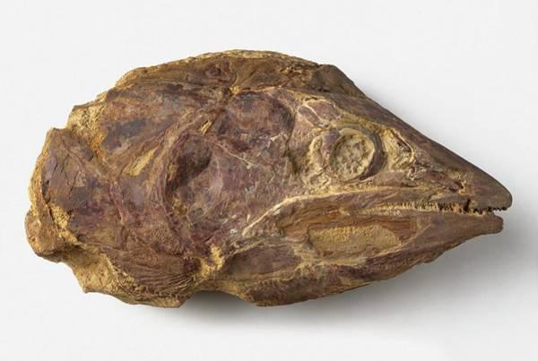 Extinct Photograph - Osteichthyan Head by Dorling Kindersley/uig