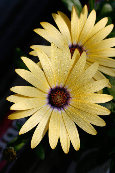 Osteospermum Hybrid Photograph - Osteospermum Hybrid Lemon Symphony by Bonnie Sue Rauch