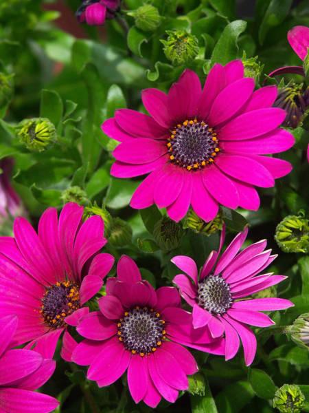 Osteospermum Hybrid Photograph - Osteospermum Hybrid Soprano Purple by Bonnie Sue Rauch