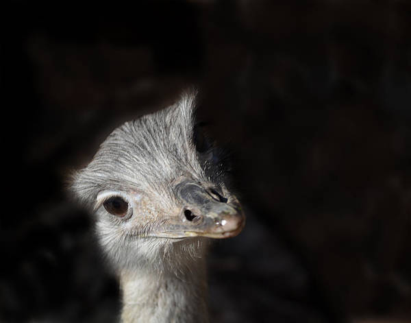 Photograph - Ostrich Attention by Maggy Marsh