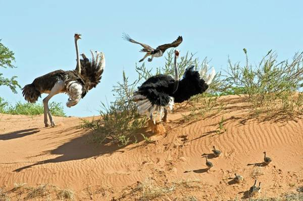 Ostrich Photograph - Ostrich Family And Eagle by Tony Camacho/science Photo Library