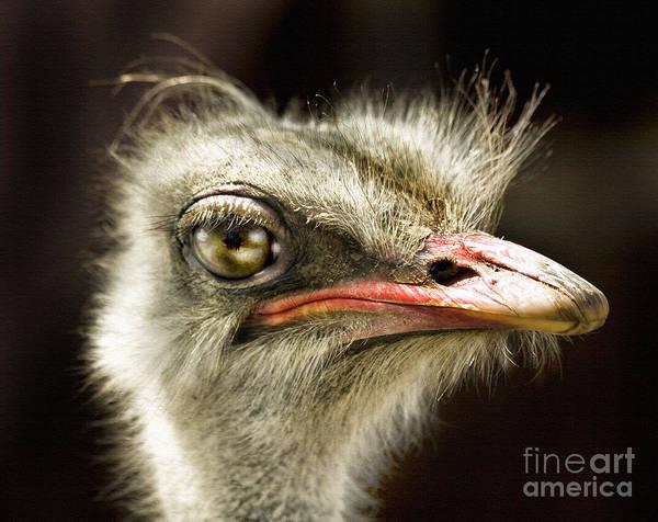 Photograph - Ostrich Struthio Camelus by Daliana Pacuraru