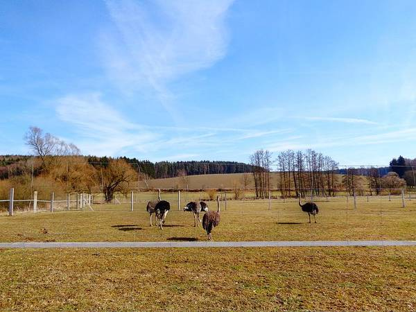 Photograph - Ostriches by Mhiss Little