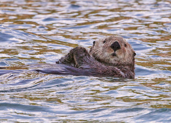 Wall Art - Photograph - Otter At Lake Clark Np by Michelle Theall