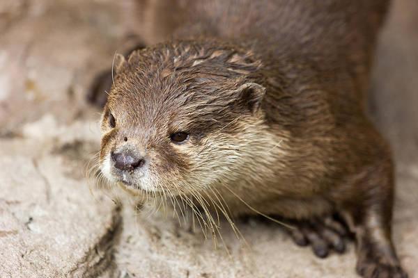 Aonyx Cinerea Photograph - Otter Closeup by Pati Photography
