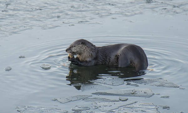 Photograph - Otter Eating A Fish by Loree Johnson