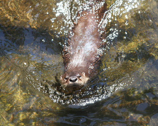 Photograph - Otter In Florida by Jean Clark