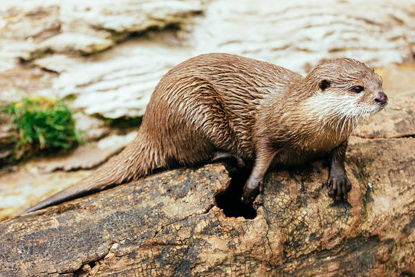 Aonyx Cinerea Photograph - Otter On A Tree by Pati Photography