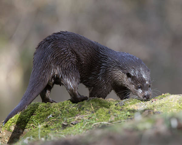 Photograph - Otter by Tony Mills