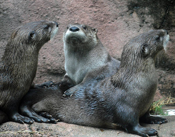 Photograph - Otters Abound by Maggy Marsh