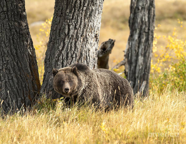 Grizzly Bears Photograph - Out For Lunch by Sandra Bronstein