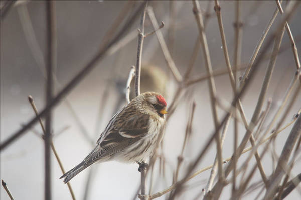 Finch Photograph - Out In The Sticks by Susan Capuano