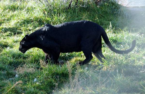 Photograph - Out Of Africa  Black Panther by Phyllis Spoor