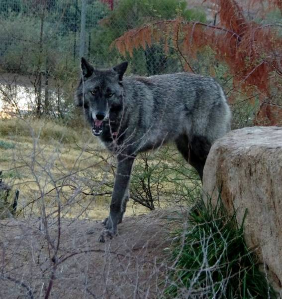 Photograph - Out Of Africa Black Wolf by Phyllis Spoor