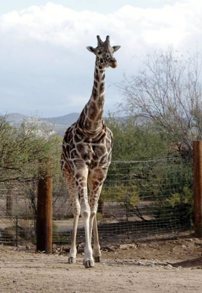 Photograph - Out Of Africa  Giraffe 1 by Phyllis Spoor