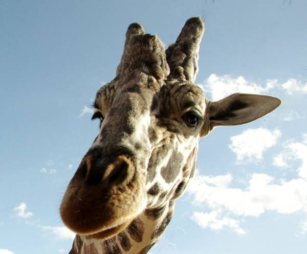 Photograph - Out Of Africa Girraffe 2 by Phyllis Spoor