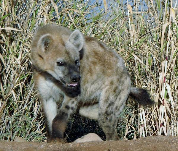 Photograph - Out Of Africa  Hyena 2 by Phyllis Spoor