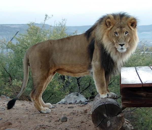 Photograph - Out Of Africa  Lion 1 by Phyllis Spoor
