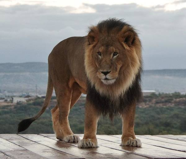 Photograph - Out Of Africa Lion 3 by Phyllis Spoor