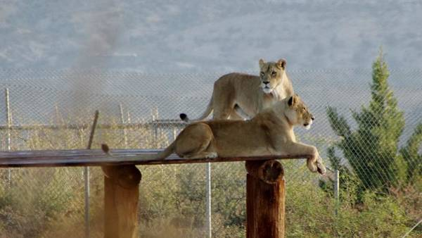 Photograph - Out Of Africa Lions by Phyllis Spoor