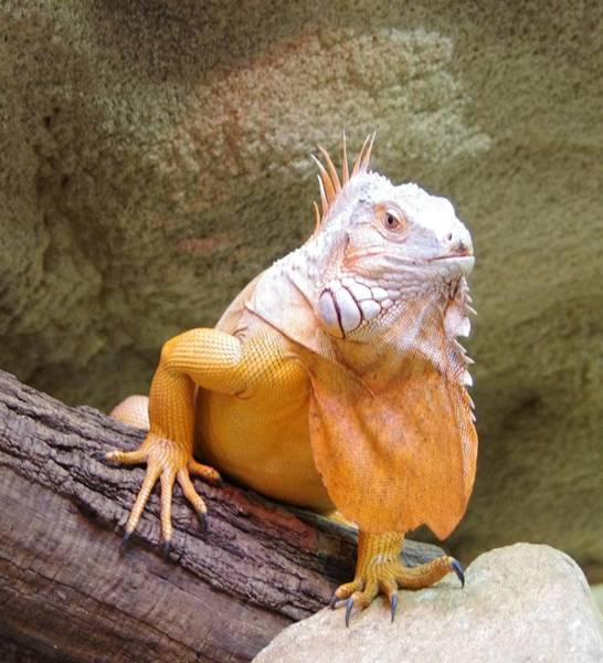 Photograph - Out Of Africa Orange Lizard 1 by Phyllis Spoor