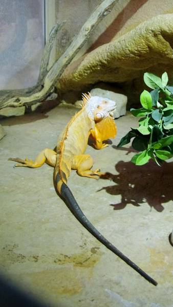 Photograph - Out Of Africa Orange Lizard 2  by Phyllis Spoor