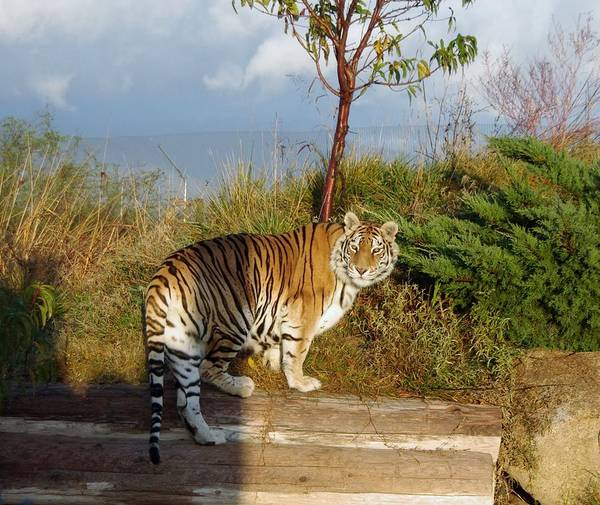 Photograph - Out Of Africa  Tiger 1 by Phyllis Spoor