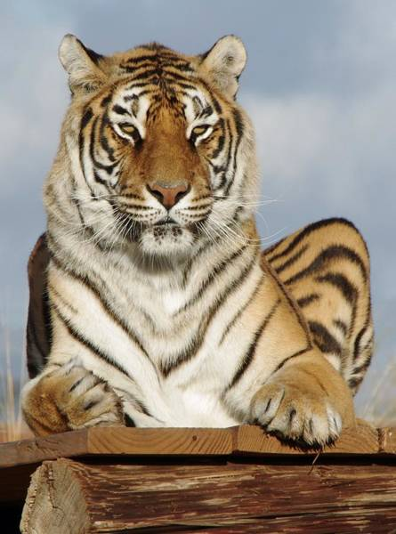 Photograph - Out Of Africa Tiger 4 by Phyllis Spoor