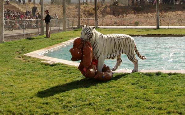 Photograph - Out Of Africa Tiger Splash 2 by Phyllis Spoor
