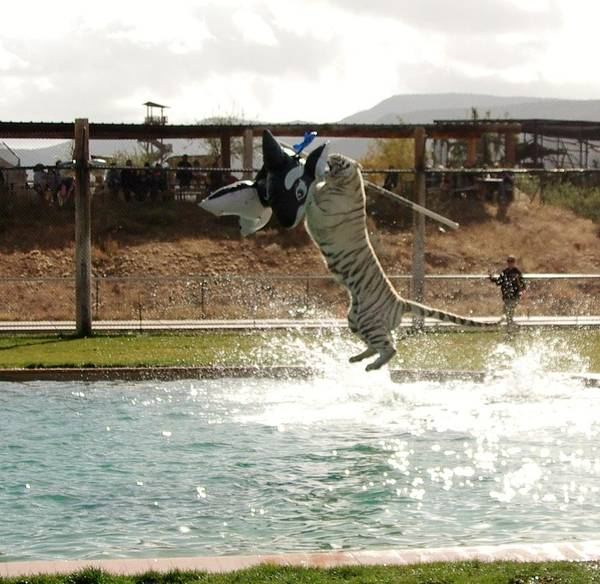 Photograph - Out Of Africa Tiger Splash 7 by Phyllis Spoor