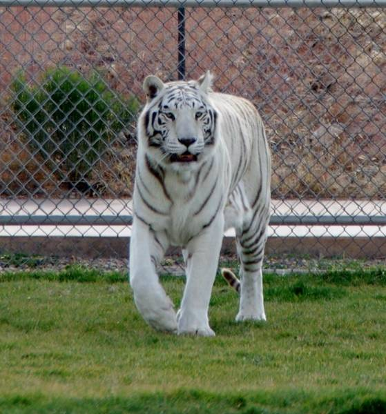 Photograph - Out Of Africa White Tiger by Phyllis Spoor