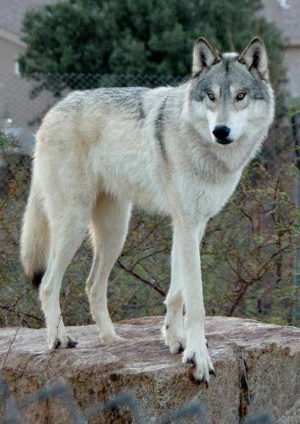 Photograph - Out Of Africa Wolf  by Phyllis Spoor