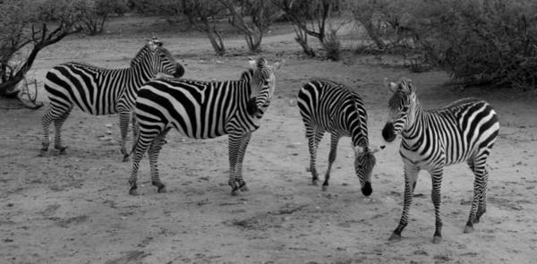 Photograph - Out Of Africa  Zebras by Phyllis Spoor