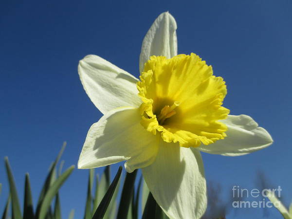 Dafodil Photograph - Out Of The Blue by Martin Howard