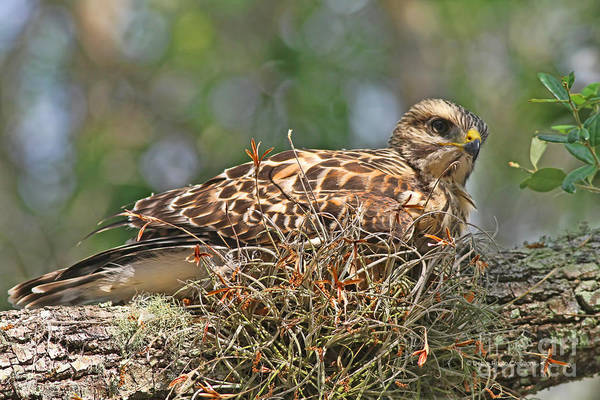 Photograph - Out Of The Nest by Deborah Benoit
