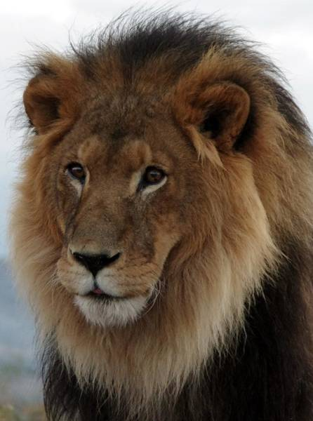 Photograph - Out Ofafrica  Lion 4 by Phyllis Spoor