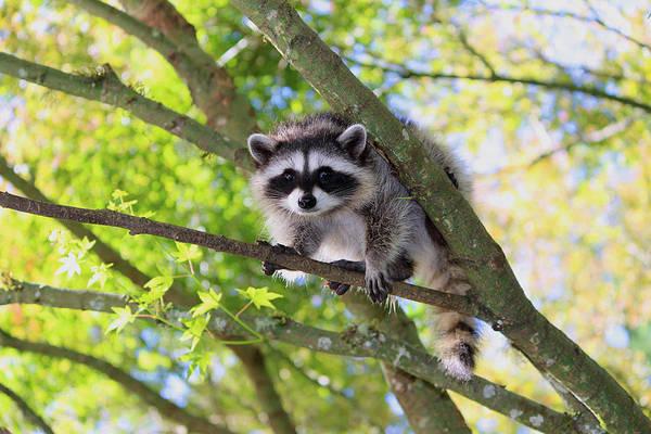 Raccoon Photograph - Out On A Limb by Kym Backland
