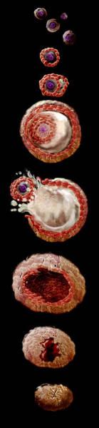 Wall Art - Photograph - Ovarian Cycle by Anatomical Travelogue