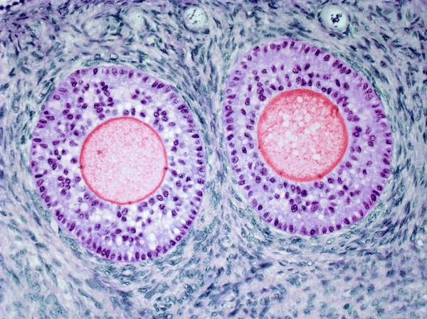 Biological Photograph - Ovarian Follicle by Steve Gschmeissner
