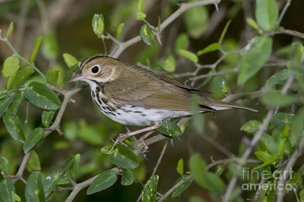 Parulidae Photograph - Ovenbird by Anthony Mercieca