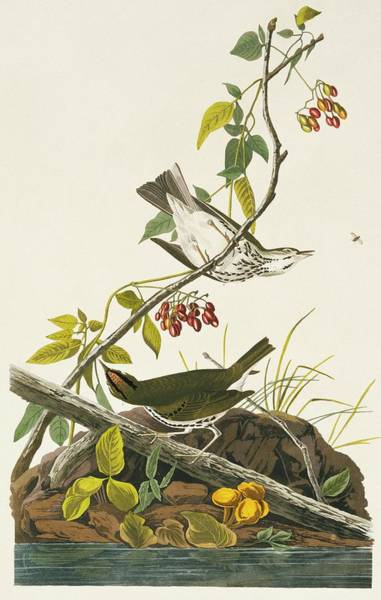 Aquatint Photograph - Ovenbirds by Natural History Museum, London/science Photo Library