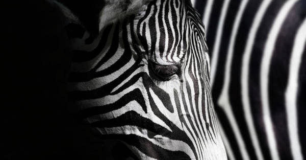 Zebra Pattern Photograph - Overlap Of Stripes by Takashi Suzuki
